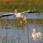 """White Pelicans 5417"" by scott2403"
