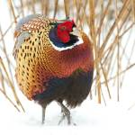 """Male Ringed-necked Pheasant 4084"" by scott2403"