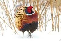 Male Ringed-necked Pheasant 4084