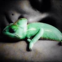 Sleeping chameleon Art Prints & Posters by Brandon Bushard