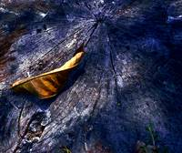 DRY LEAF ON TREE STUMP, EDIT B