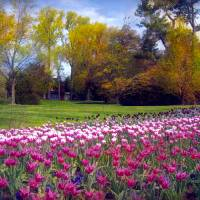 Glory of Tulips Art Prints & Posters by John Rivera
