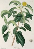 Camellia Thea from 'Phytographie Medicale'