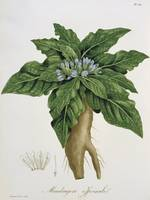 Mandragora Officinarum from 'Phytographie Medicale