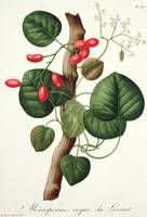 Menispermum from 'Phytographie Medicale'