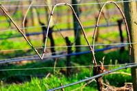 Vines on Wire 22637