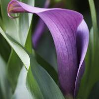 Calla Lily in Purple Ombre Art Prints & Posters by Rona Black