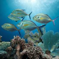 Bluefin Trevally by I.M. Spadecaller