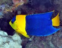 Yellow Blue Angelfish