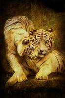 white tigers tenderness