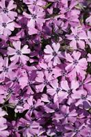 Purple Beauty Phlox