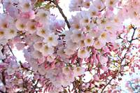 Many Pink Blossoms