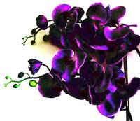 Funky_Orchid