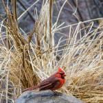 """""""Cardinal"""" by MyiKandi"""