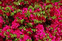 Bougainvillea and Foliage
