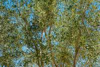 Olive Branches and Sky