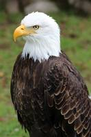 American Bald Eagle on a Roost