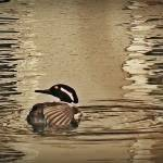 """Hooded Merganser March 2014"" by bavosiphotoart"