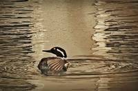 Hooded Merganser March 2014