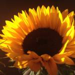 """""""Sunflower"""" by mattblythe"""