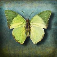 Charaxes eupale Butterfly or African Mint Green