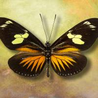 Heliconius doris eratoniu Butterfly or The Postman Art Prints & Posters by Vincent-Field Photography ...