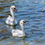 """Two Swimming Swans"" by Groecar"