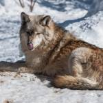 """""""Wolf in Snow"""" by EvesNature"""