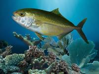 Amberjack and Coral Reef