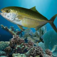 Amberjack and Coral Reef by I.M. Spadecaller