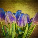 """Tulips (01952)"" by Fotofrieze"