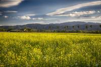 Napa Valley Mustard and Palms