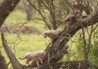 Cheetah Kittens in Tree