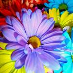 """Colorful Daisies"" by ImagesbySimeone"