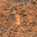 """Crested Francolin 4906"" by rayjacque"