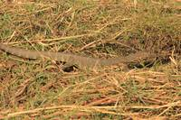 Water Monitor Lizard- 5425