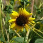 """""""Wild Sunflower"""" by MarksClickArt"""