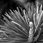 """Pine Needle"" by zacharyherrera"