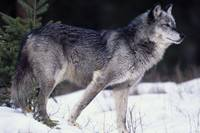 Female captive gray wolf winter portrait