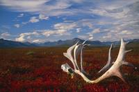 Caribou Skull And Antlers Laying On Arctic Tundra,