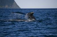 Humpback Whales Swimming On Surface, Kodiak Archip