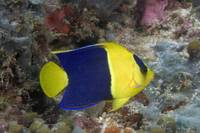 Malaysia, The Bicolor Angelfish