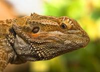 Portrait Of A Bearded Dragon