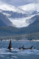 A pod of Orca whales surface in Favorite Passage n