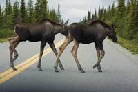 Two young moose calves cross the park road in Dena