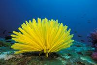 Thailand, Bright Yellow Crinoid, Blue Ocean