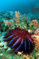 Thailand, Reef Scene With Crown-Of-Thorns Starfish