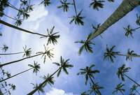 Hawaii, Palm Trees Seen From Below, Cloudy Blue Sk