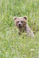 Grizzly Bear In Sedge Grass, Southcentral Alaska