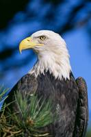 Colorado, Close-Up Of Bald Eagle, Sitting In Ponde